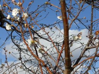 寒桜?.jpg