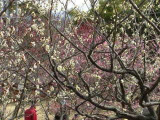 色とりどりの梅