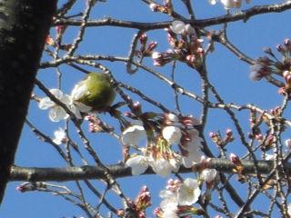 桜とうぐいす1.jpg