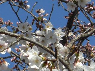 桜・・きれいです.jpg