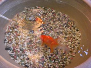 金魚もメタボ.jpg