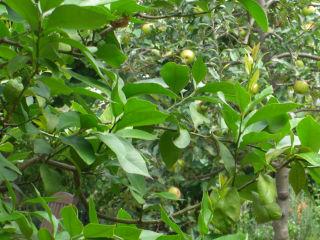 りんごとレモン.jpg