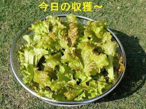 yasai_20081018_2