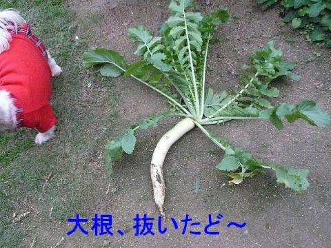 yasai_20081109_2