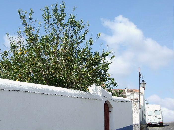 316Estremozレモンの木