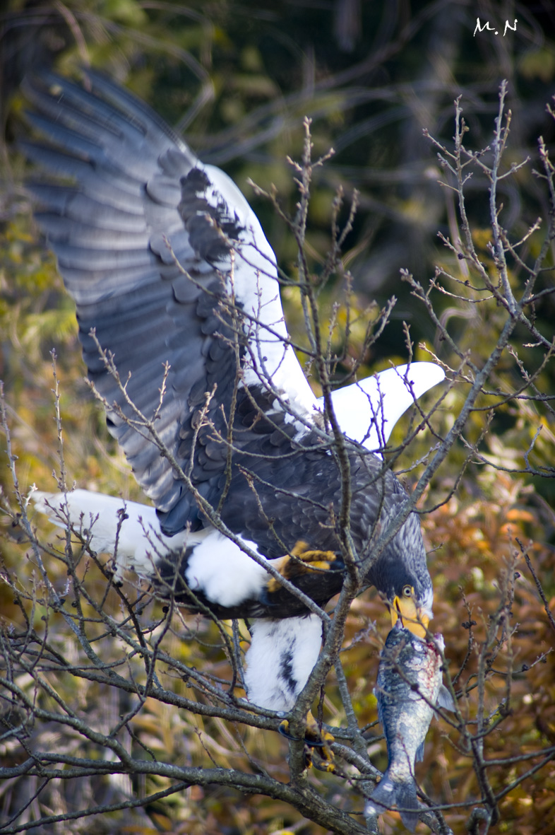 Steller's sea-eagle_001