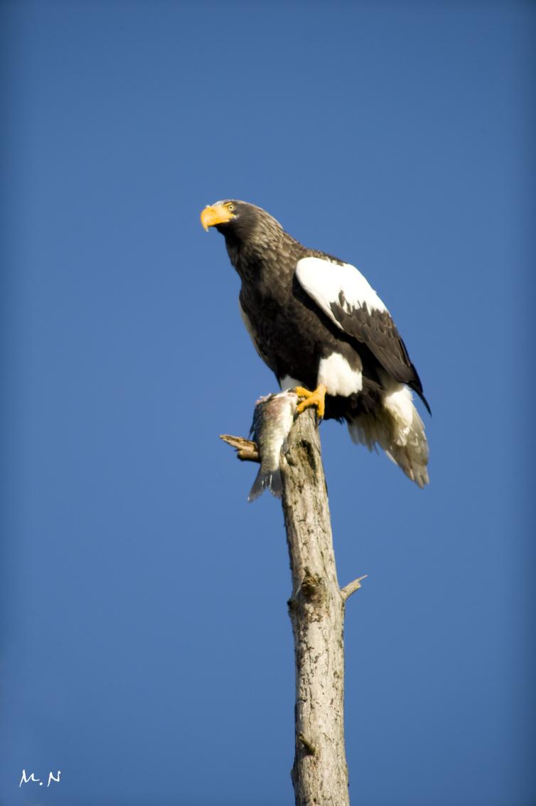 Steller's sea-eagle_003