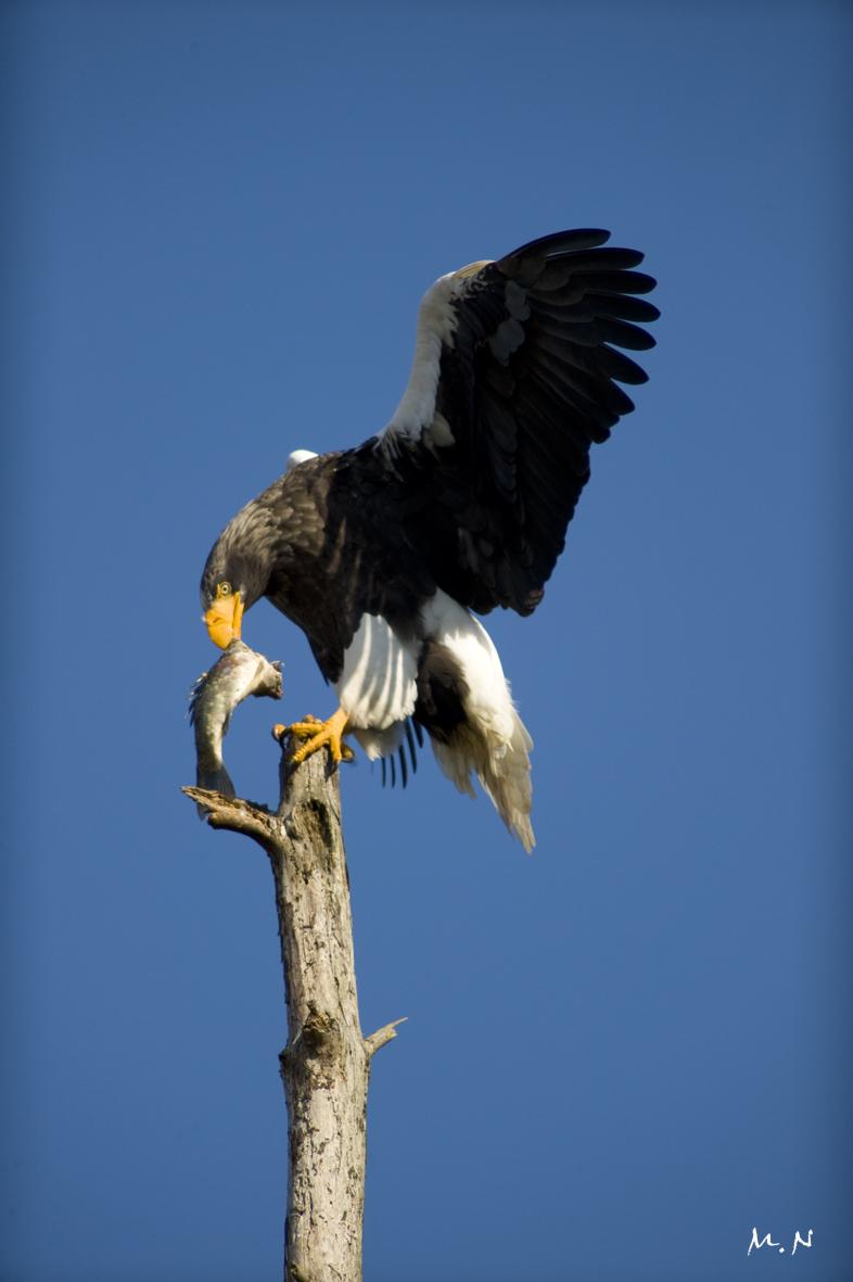 Steller's sea-eagle_006