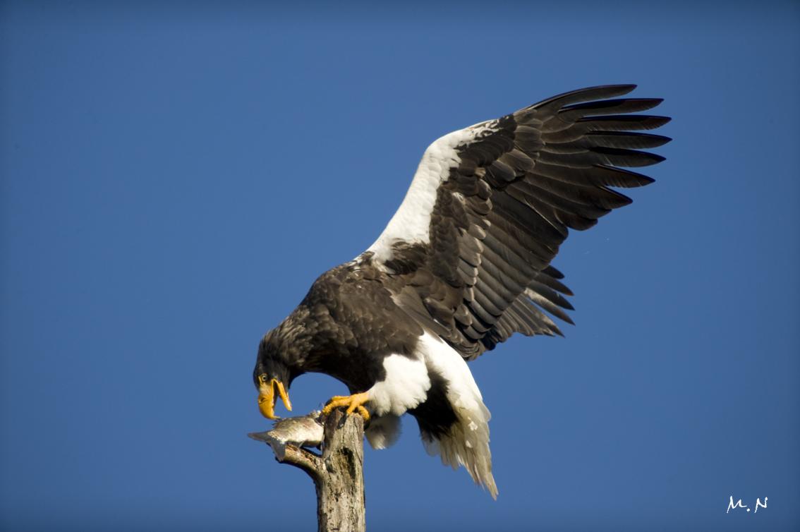 Steller's sea-eagle_007