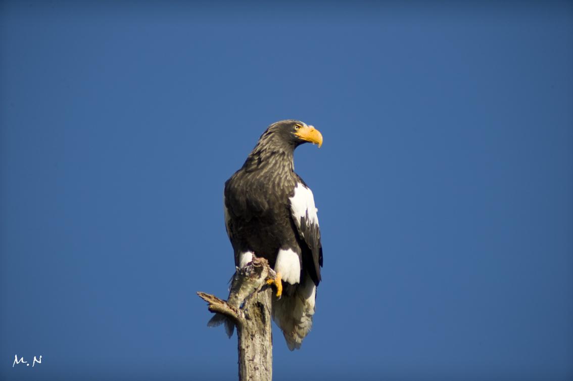 Steller's sea-eagle_008