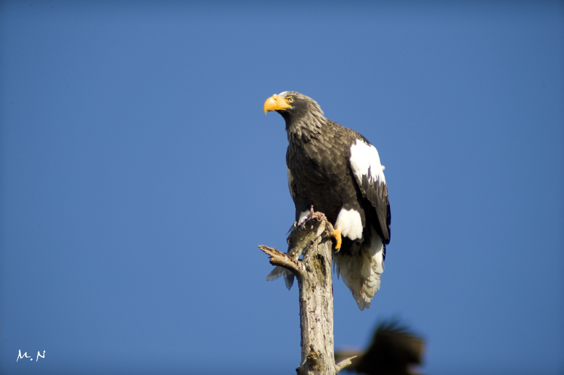 Steller's sea-eagle_009
