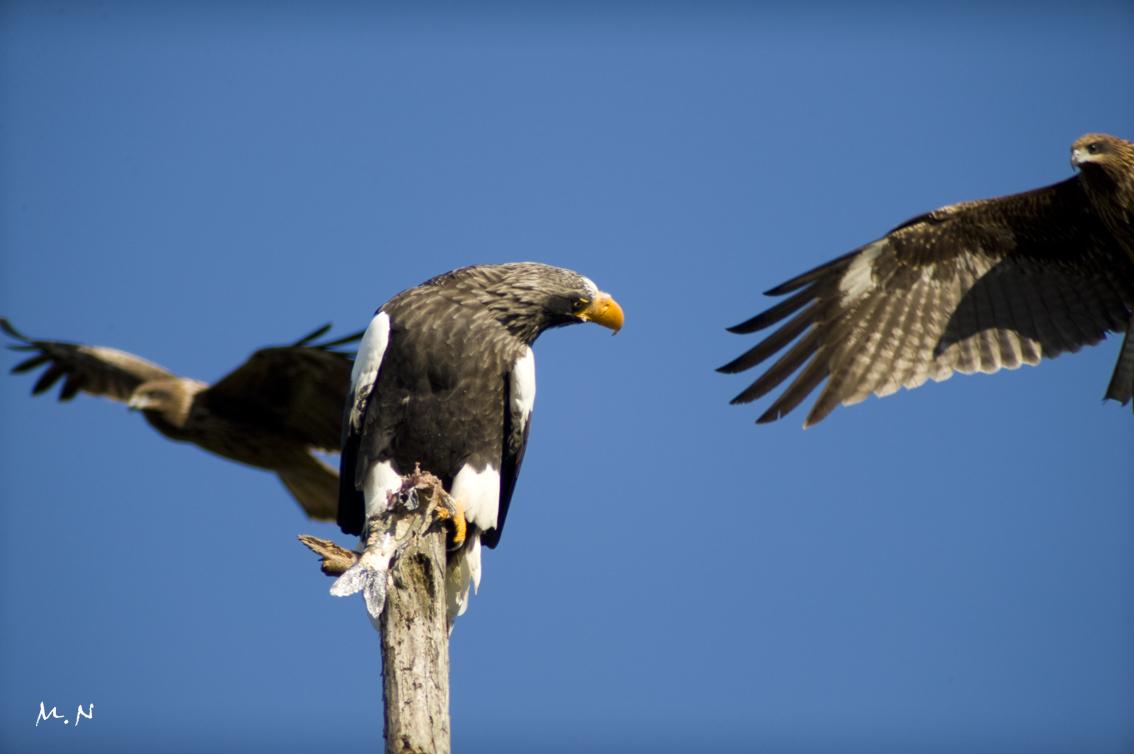 Steller's sea-eagle_010
