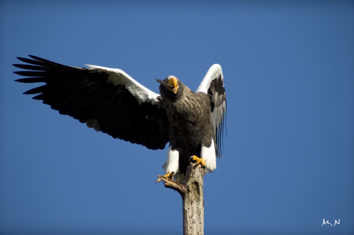 Steller's sea-eagle_011