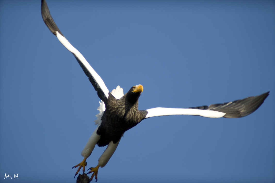 Steller's sea-eagle_013