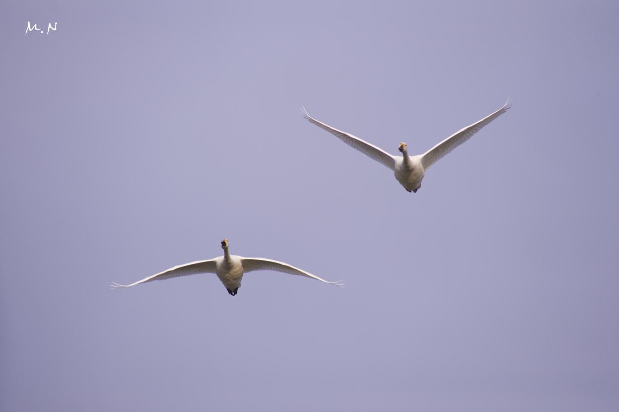 swan012