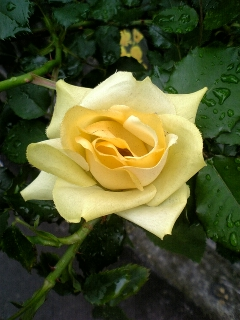 rose.2.jpg