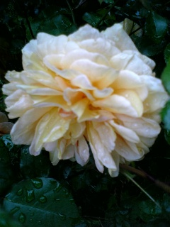 rose.3.jpg