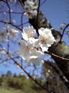 sakura.a.jpg