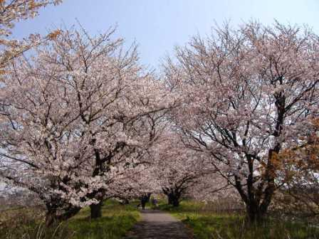 h21桜並木1