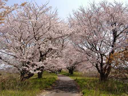 h21桜並木3