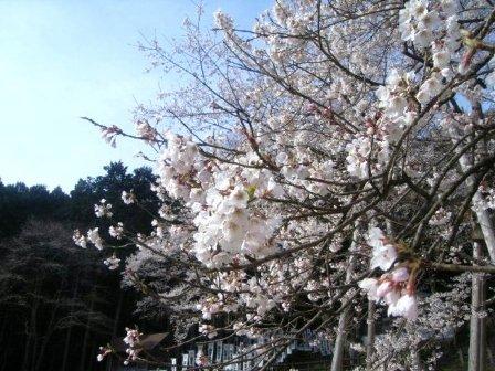 H21.4.6薄墨桜