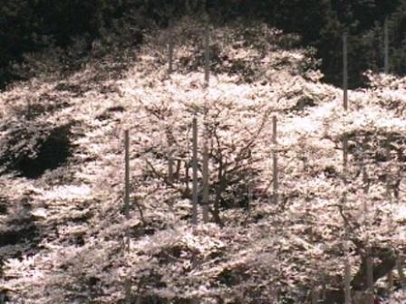 2009.4.6薄墨桜2