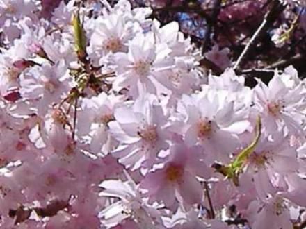 馬籠枝垂桜2
