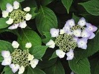 2009.6.14 八重咲白花ヤマアジサイ