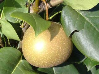 熟れごろの梨