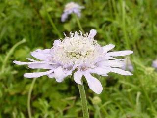 スカビオザ 松虫草 (まつむしそう)