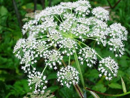 アンゼリカの白い花