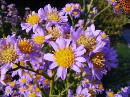 紫苑 (しおん)