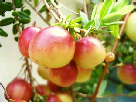 蔓苔桃 (つるこけもも)の実