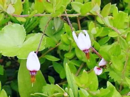 蔓苔桃 (つるこけもも)