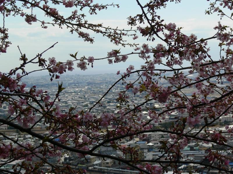 松田町河津桜まつり
