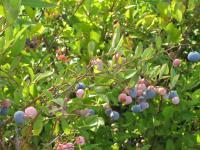 blueberry3.jpg