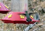 hamingbird