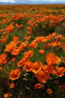 poppy01.jpg