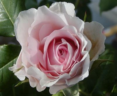 pinkfrench4