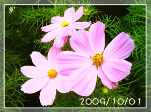 コスモス2009