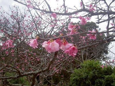 今帰仁城桜