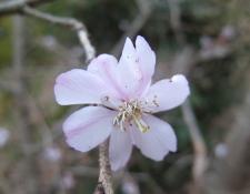 花見山2008桜