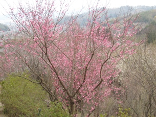 花見山2008桃色の梅