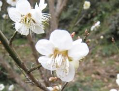 花見山2008梅