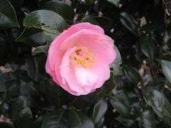 花見山2008つばき