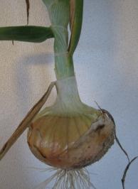 玉ねぎ収穫3