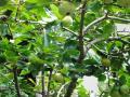 21.8.22 柿 (1)
