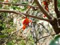 21.10.16熟した柿