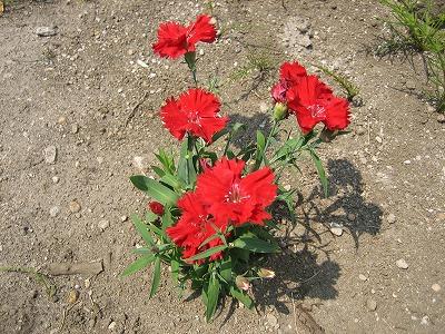 真夏の赤い花。