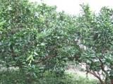 摘果中の八朔の木